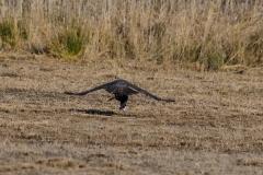 La caza del Azor